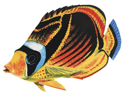 Raccoon Butterflyfish 9″x6″