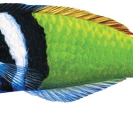 Bluehead Wrasse 5″ x 1.5″
