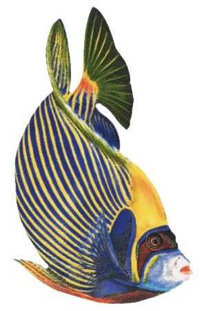 Emperor Angelfish 8″x5″