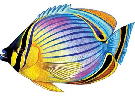 Redfin Butterflyfish 9″x6″