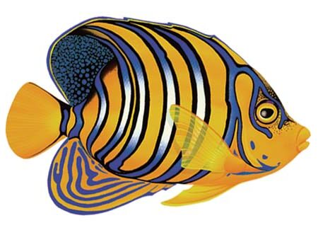Regal Angelfish 8″x5″