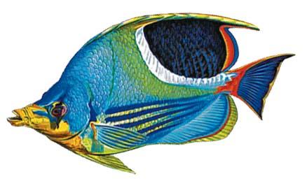 Saddled Butterflyfish 9″x5″